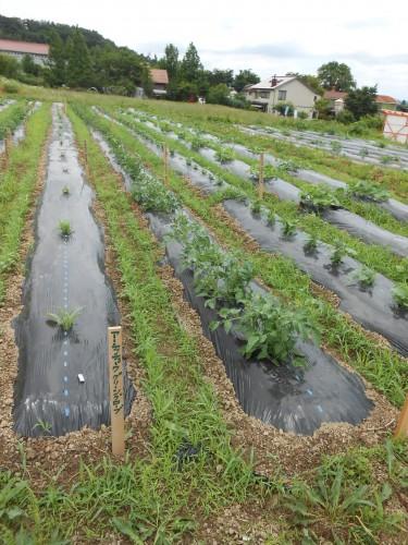畝ごとに植えている野菜が違います。日照りが続いたのでちょっと生長にならず。草むしり好きなので、むしりたくてしょうがなかった。